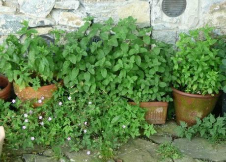 Minze: Das Aromatische Heilkraut Im Eigenen Garten