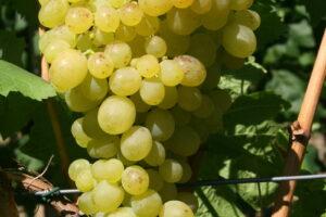 Weintraube Weinrebe Sorte Aljoschenkin