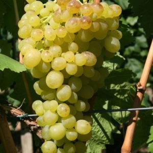 Weintraube Weinrebe Sorte Aljoshenkin
