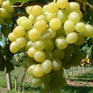 Weintraube Weinrebe Sorte Arkadia Kernarm