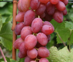 Weintraube Weinrebe Sorte  Arkadia Rozowa