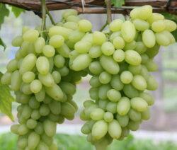 Weintraube Weinrebe Sorte Centennial