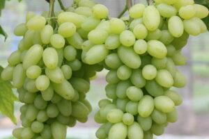 Weintraube Weinrebe Sorte Centennial Kernlos