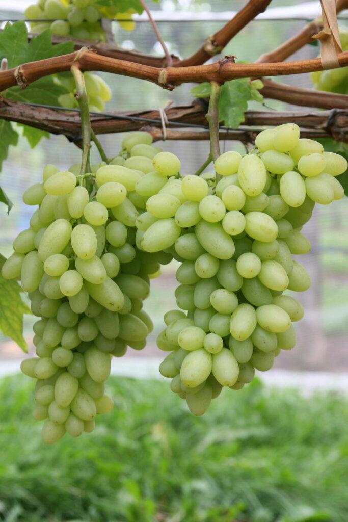 Weinrebe sorte centennial seedless kernlos for Weintrauben im garten anbauen