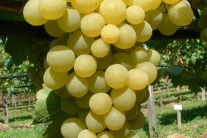 Weintraube Weinrebe Sorte Frumoasa Alba Kernarm