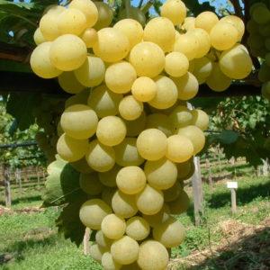 Weintraube Weinrebe Sorte Frumoasa Alba