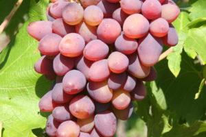 Weintraube Weinrebe Sorte Kischmisch Lutschistji Kernlos