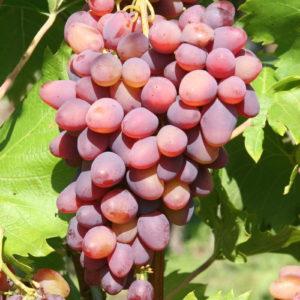 Weintraube Weinrebe Sorte  Kischmisch Lutschistji