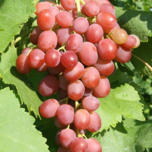 Weintraube Weinrebe Sorte  Liwia