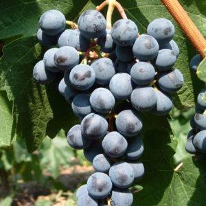 Weintraube Weinrebe Sorte Mitschurinski