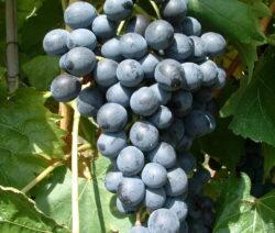 Weintraube Weinrebe Sorte  Muscat Bleu