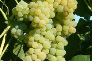 Weintraube Weinrebe Sorte Romulus Kernlos