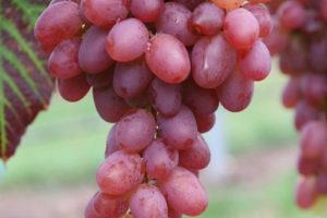 Weintraube Weinrebe Sorte Rosowie Tschudo