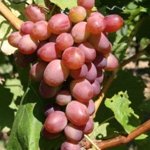 Weintraube Weinrebe Sorte Rote Victoria
