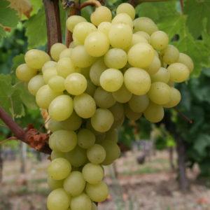 Weintraube Weinrebe Sorte Solotoi Don