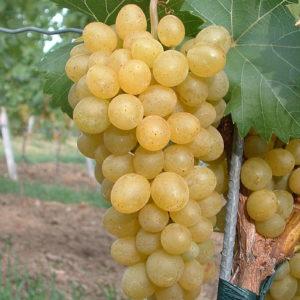 Weintraube Weinrebe Sorte Suzi