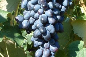 Weintraube Weinrebe Sorte Velicka Kernarm