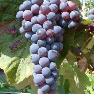 Weintraube Weinrebe Sorte Venus Kernlos