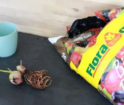 Wurzelbildung Avocadokern