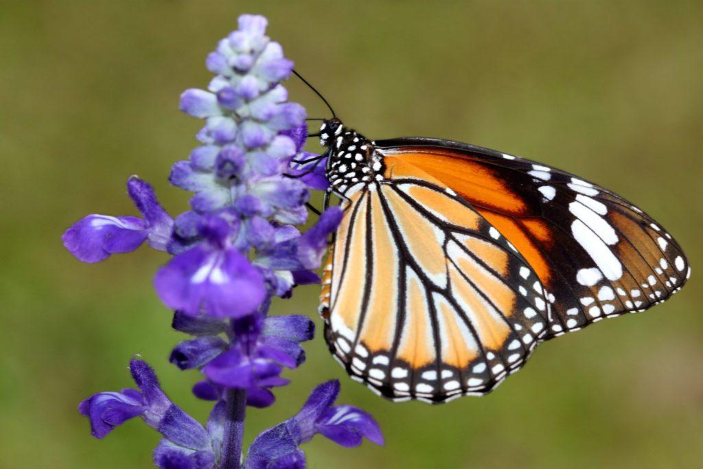 Schmetterling auf lila Ysop-Blüte