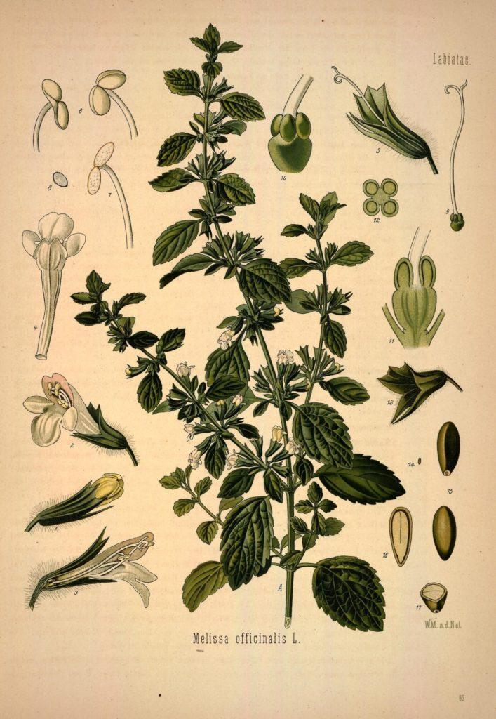 Botanik Zitronenmelisse