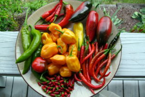 Chili Sortenvielfalt Grün Gelb Rot