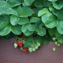 Erdbeeren In Hochbeet