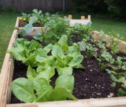 Hochbeet Mit Salat, Petersilie Und Kohl