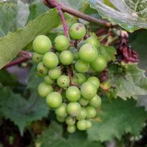 MEhltau Pilz Auf Weintraube