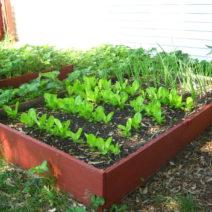 Salat Und Zwiebeln Im Hochbeet