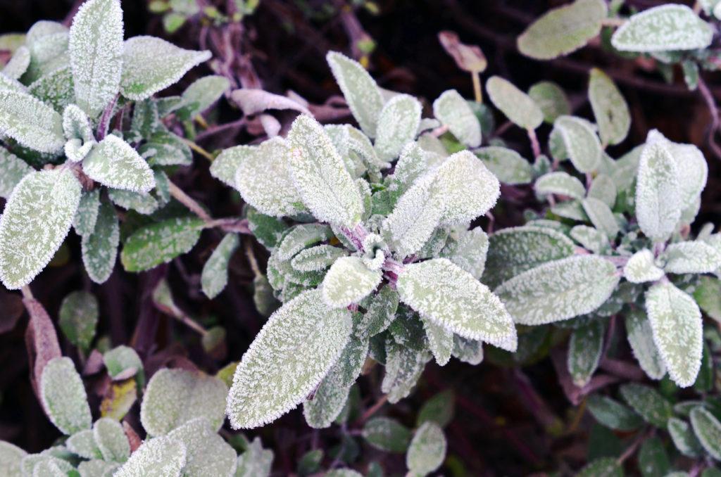Salbei mit Frost im Beet im Winter
