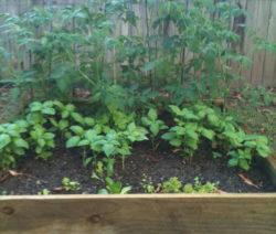Tomaten, Basilikum Und Salat Im Garten Im Hochbeet