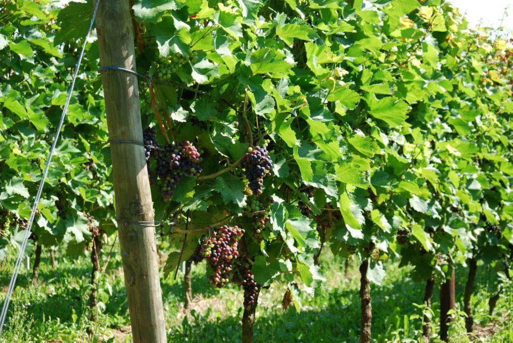 Weinreben mit heranreifenden Trauben