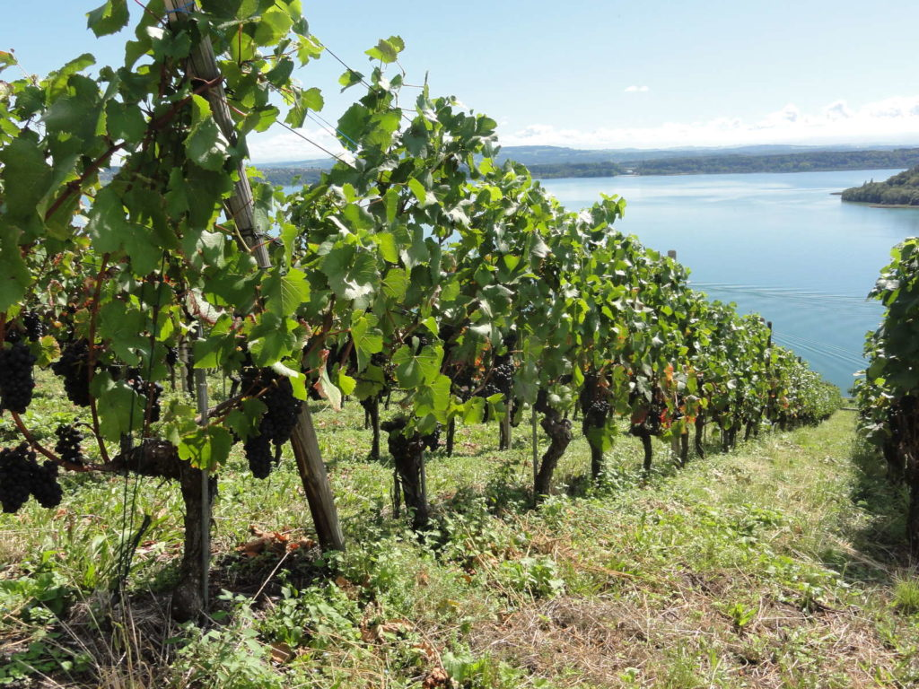 Weinreben am Hang vor See