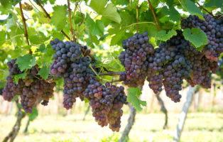 Rebsorten: Die 20 Besten Hellen, Roten & Blauen Tafeltrauben (Übersicht)