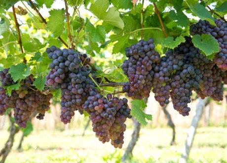 Rebsorten: Die Besten Hellen, Roten Und Blauen Tafeltrauben