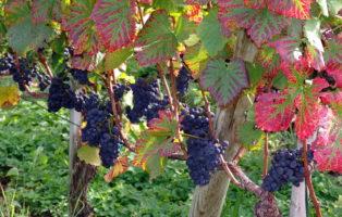 Weinreben Mit Rotem Herbstlaub Und Blauen Trauben