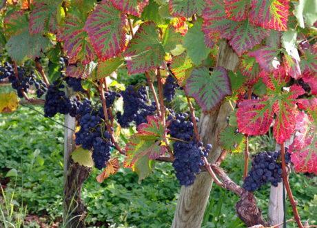 Weinreben Pflanzen: Pflanzzeit & Winterharte / Resistente Sorten