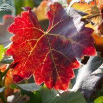 Wein Weinblatt Rotes Herbstlaub