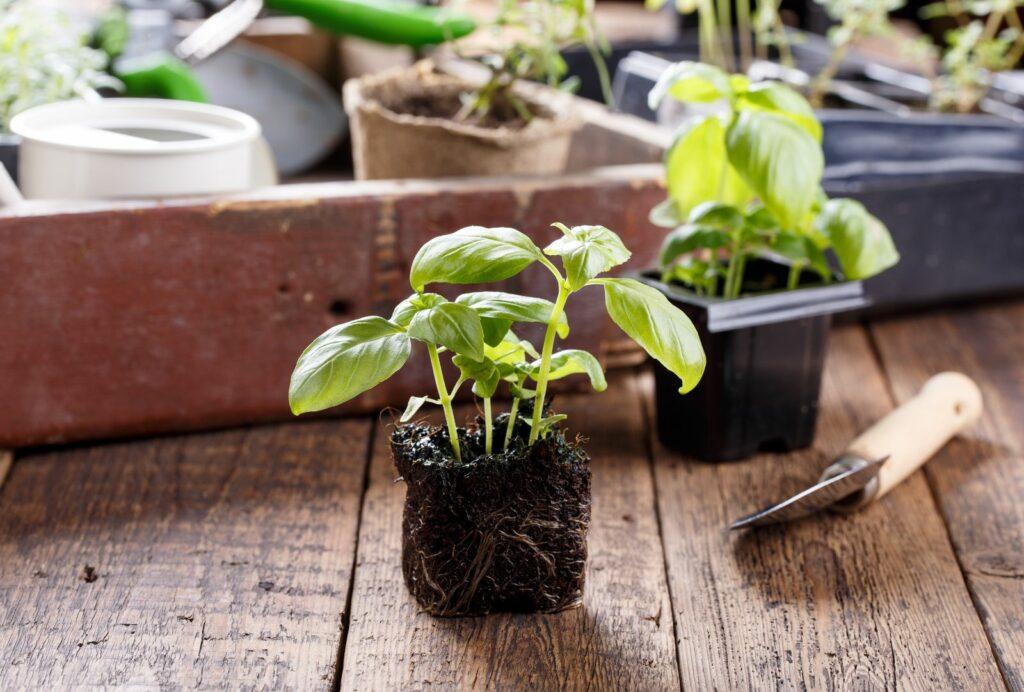 Basilikum Stecklinge zum einfachen Vermehren
