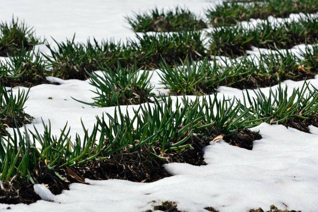 Frühlingszwiebeln im Winter