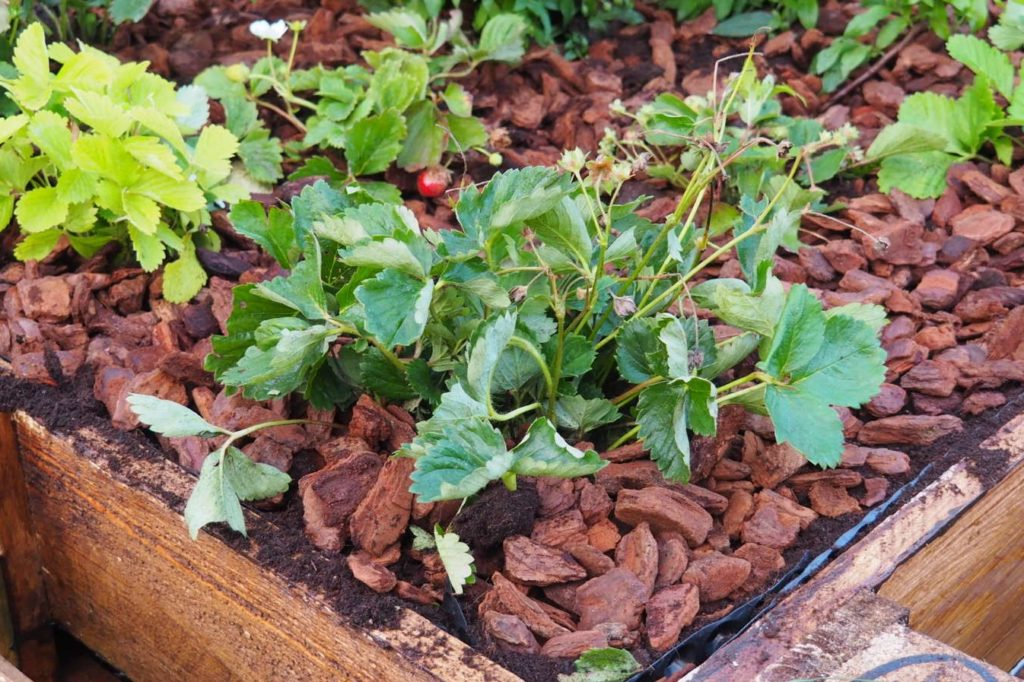 Erdbeerpflanze im Hochbeet