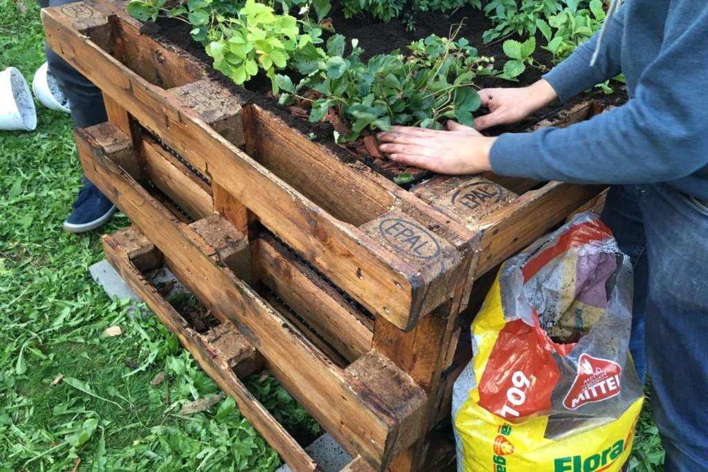 Hochbeet wird mit Erdbeeren bepflanzt