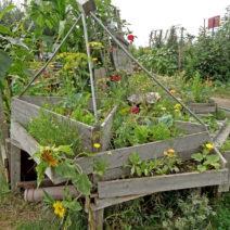Kreatives Verwinkeltes Hochbeet Aus Holz Mit Sonnenblumen