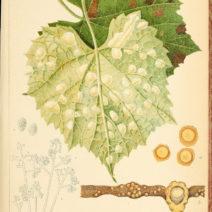 Pilzkrankheiten Weinrebe Mehltau Auf Blatt