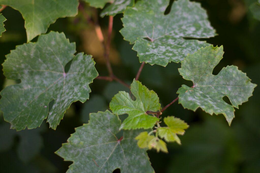 Mehltau auf Wein
