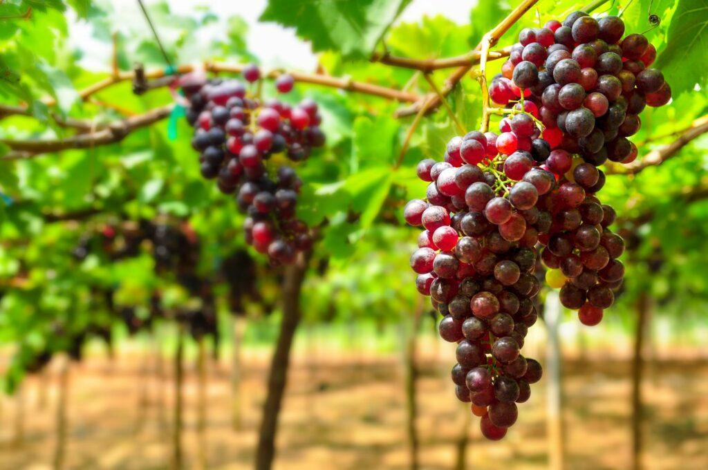 rot-violette Trauben