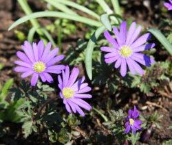 Lila Windröschen Im Garten