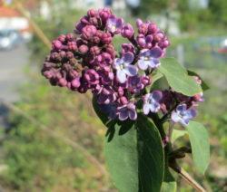 Blüte Flieder1