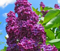 Blüte Flieder2